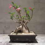 Adenium arabicum/29400yen
