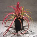 Aechmea recrvata Aztec Gold18900yen