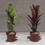 Aechmea nudicaulis 4725yen