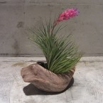 T.stricta tenuifolia1890yen