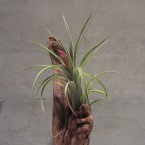 T.paucifolia (Mexico)3990yen