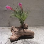 T.stricta tenuifolia 2940yen