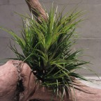 T.stricta clump XL4725yen