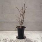 Euphorbia kondoi 税抜き3500yen+税