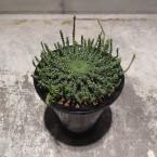 Euphorbia gorgonis 税抜き15000yen+税