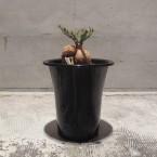 Euphorbia buruana Maktau Kenya 税抜き15000yen+税