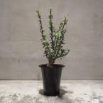Fouquieria macdougalii 税抜き40000yen+税