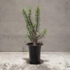 Fouquieria purpusii 税抜き38000yen+税