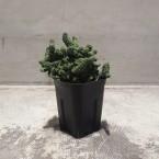 Euphorbia fimbriata crist.鱗宝綴化 税抜き5000yen+税