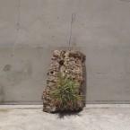 Tillandsia ionantha Fuego guatemala clamp on cork 税抜き5500yen+税