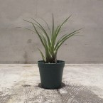 Vriesea corcovadensis 税抜き2800yen+税