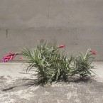 Tillandsia tenuifolia Hybrid clamp 税抜き6500yen+税